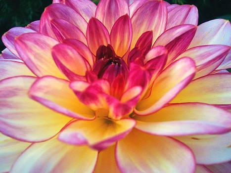 Purple Star Flower by Beril Sirmacek