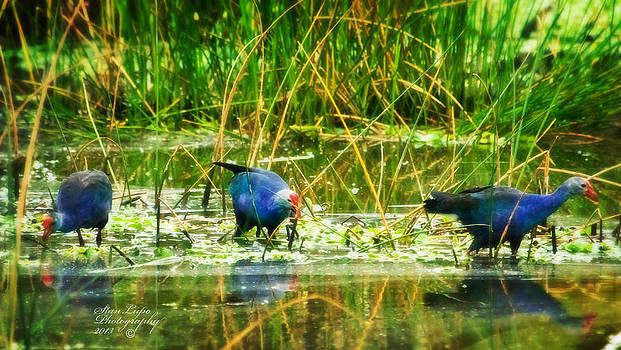 Purple Swamphens by Stanley Lupo