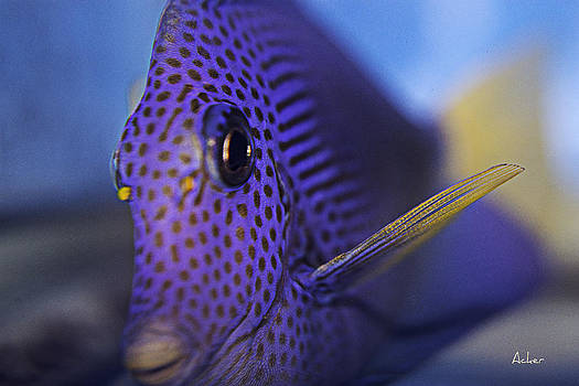 Purple Tang by Aaron Acker