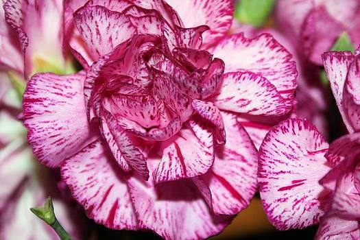 Purple Tiger Rose by Jillian Gomez