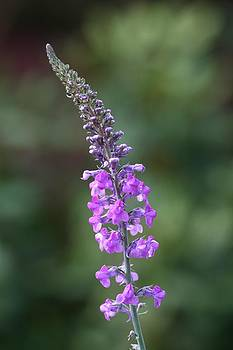 Mark Severn - purple toadflax
