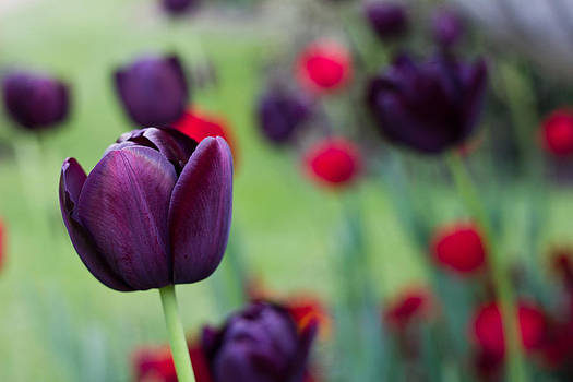 Purple tulip by Alejandra Pinango