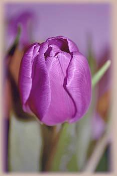 Purple tulip by Nadeesha Jayamanne