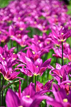 Gynt - Purple Tulips