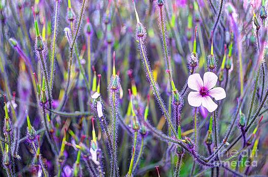 Purple velvet by Diana Vitoshka