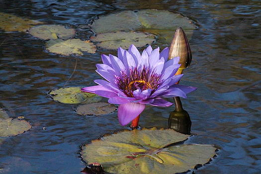 Purple Water Lily by Lorri Crossno