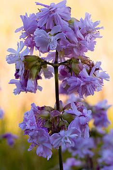 Devinder Sangha - Purple wild lillies