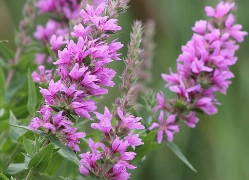Purple Wildflower by Rhonda Humphreys