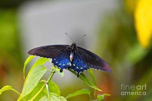Purple Wings by Jay Nodianos