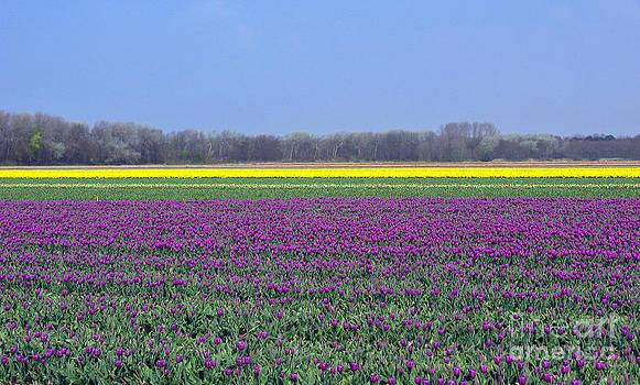 Purple With Golden Lining. Fields Of Tulips Series by Ausra Huntington nee Paulauskaite