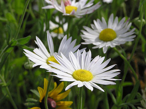 Pushing Up Daisies by Shannon Story