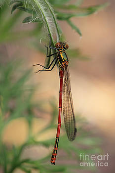 LHJB Photography - Pyrrhosoma nymphula