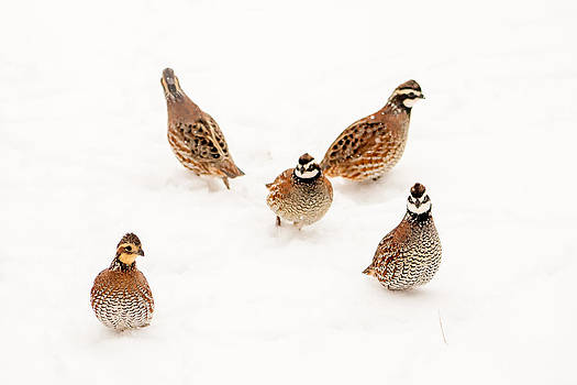 Quail Guard Duty by Dawn Romine
