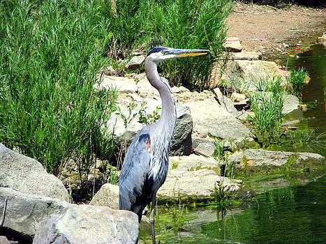 Joyce Dickens - Quail Lake Great Blue Heron