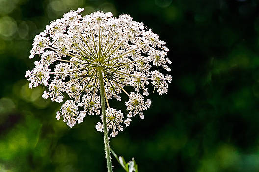 Queen Ann's Lace 3 by Phillip Burrow