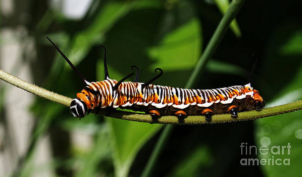 Queen Caterpillar  by Sarah Sutherland