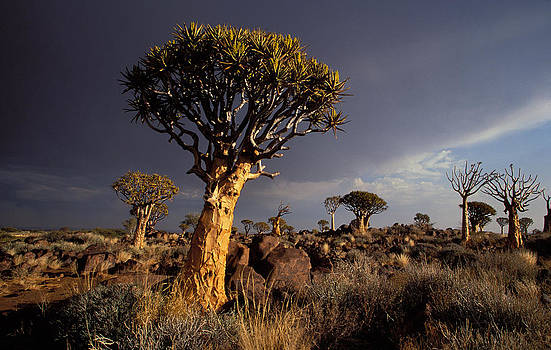 Quiver Trees, Namibia by Nigel Dennis