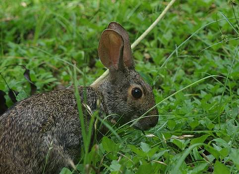Rabbit in the Grass by Billy  Griffis Jr