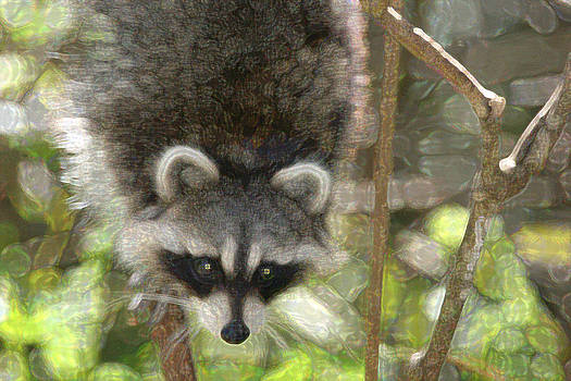 Raccoon 2 by Bob Richter