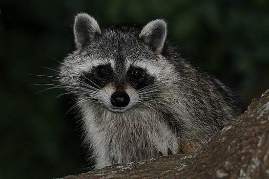 Erin Tucker - Raccoon