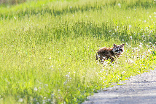 Raccoon in green field by Jill Bell
