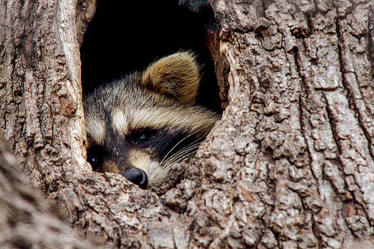 Raccoon in Tree by Jill Bell