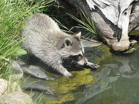 Raccoon Pond by Jody Benolken