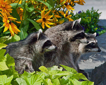 Racoons Family by Michele Wright