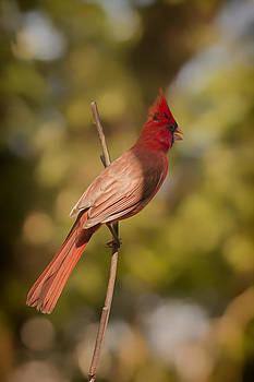Radiant Red Bird by Linda Tiepelman