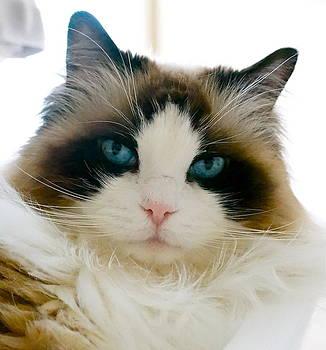 Tracey McQuain - Ragdoll cat