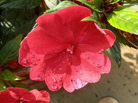 Valerie Bruno - Rain Drop Impatiens