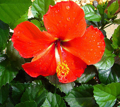 Rain Kissed Hibiscus Beauty by Ella Char