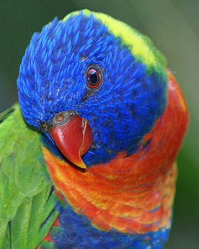 Rainbow bird - Lorikeet by DerekTXFactor Creative