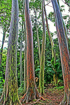 Peggy Collins - Rainbow Eucalyptus Trees