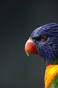 Rainbow Lorikeet 2 by Colleen Renshaw