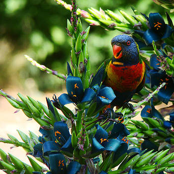 Qing Yang - Rainbow Lorikeet on Sapphire Tower