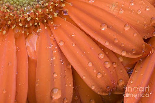 Jill Lang - Raindrops on Orange Daisy Petals
