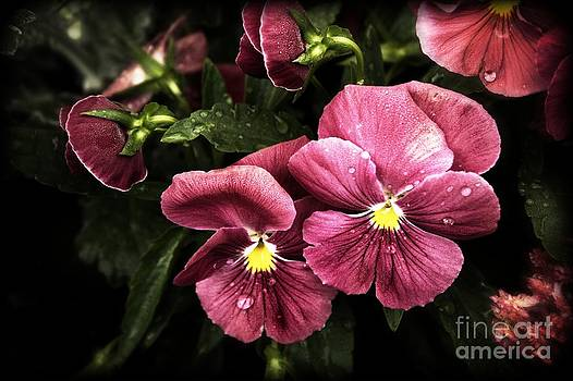 Raindrops on Pansies by Marjorie Imbeau