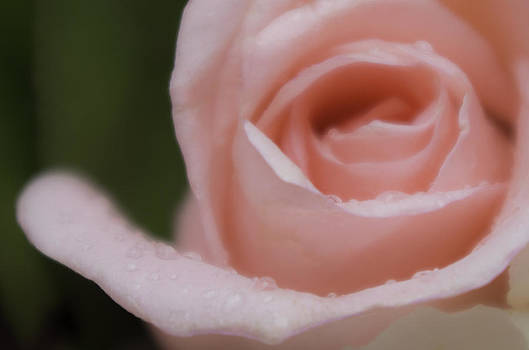 Raindrops on Roses by Rebecca  Barray