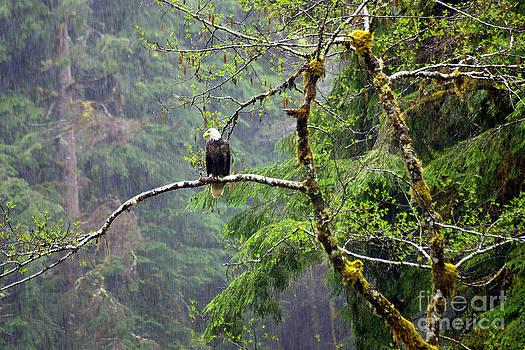 Douglas Taylor - RAINY DAY EAGLE