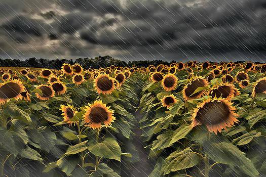 Rainy Sunflowers by Roy Inman
