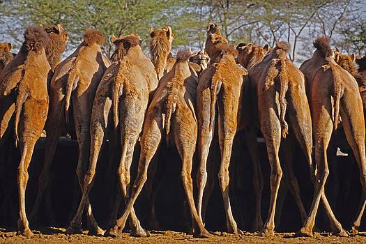 Dennis Cox - Rajasthan camel station