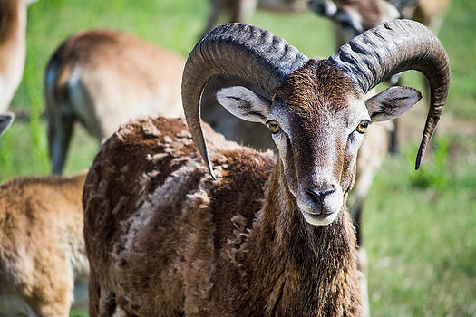 Ram Close Up by Jason Brow