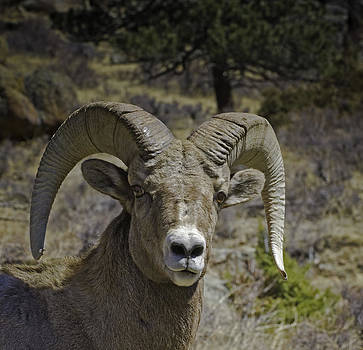 Ram by Tom Wilbert