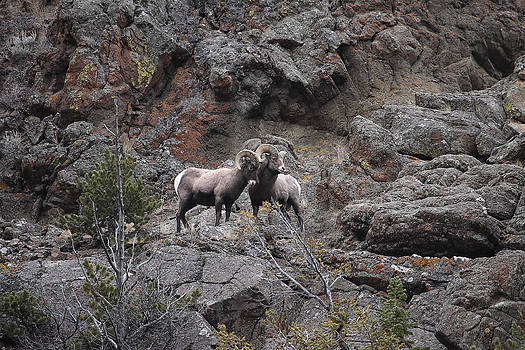 Rams on the Rocks by Floyd Tillery