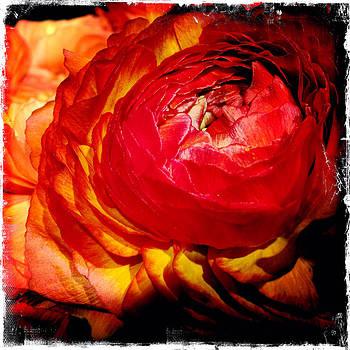 Ranunculus by Doveen Schecter