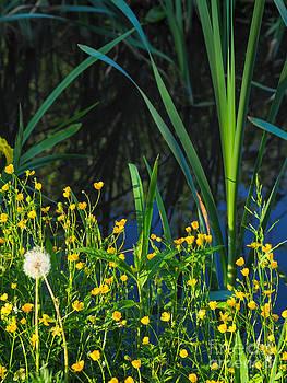 Ismo Raisanen - Ranunculus in the banks of Lake Enajarvi