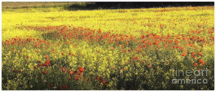 Rape Seed and Poppies No1 by George Hodlin