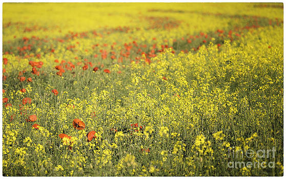 Rape Seed and Poppies No2 by George Hodlin