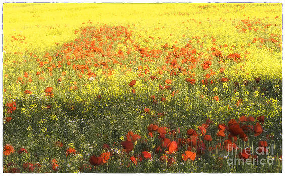 Rape Seed and Poppies No3 by George Hodlin